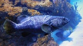Profiel van een Tandbaarsvis stock foto's