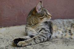 Profiel van een tijgerkat met gele ogen die onder de auto, kat op de linkerkant van foto liggen Royalty-vrije Stock Fotografie