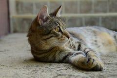 Profiel van een tijgerkat met gele ogen die onder de auto, kat op de linkerkant van foto liggen Royalty-vrije Stock Afbeelding