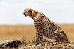Profiel van Jachtluipaardzitting in Kenia Afrika stock fotografie