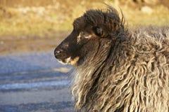 Profiel van schapen op een winderige dag Stock Foto