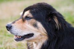 Profiel van volwassen hond Stock Foto's