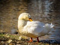 Profiel van Wit Duck Preening royalty-vrije stock foto's