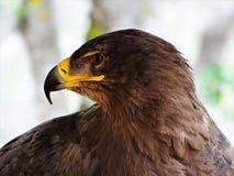 Profielbeeld van de carnivoor van de adelaarsvogel royalty-vrije stock fotografie