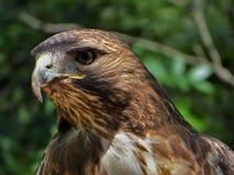 Profielbeeld van de carnivoor van de adelaarsvogel stock afbeeldingen