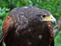 Profielbeeld van de carnivoor van de adelaarsvogel royalty-vrije stock afbeelding