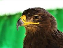 Profielbeeld van de carnivoor van de adelaarsvogel royalty-vrije stock foto