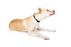 Profielhond die met omhoog Neus liggen Stock Afbeelding