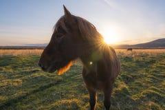 Profielmening van een Bruin Ijslands paard royalty-vrije stock afbeeldingen