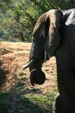 Profielportret van Afrikaanse olifant met slagtanden en gekrulde boomstam stock foto