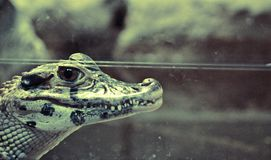 Profielportret van een krokodil in terrarium Stock Foto's