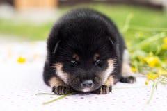 Profielportret van mooie twee weken het oude van shibainu puppy die op de lijst in het boterbloemengebied liggen stock foto's