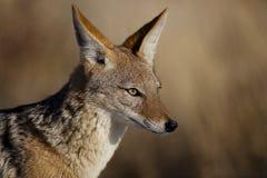 Profil à dos noir de chacal Photos stock
