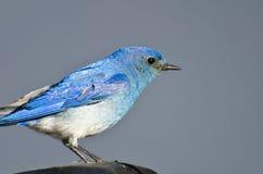 Profil étroit d'un oiseau bleu masculin de montagne Photos stock