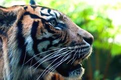 Profil étroit d'un tigre de Bengale Photo libre de droits