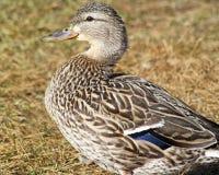 Profil étroit d'une femelle de canard de Mallard - a également appelé une poule Photos stock