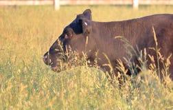 Profil ?troit de vache ? scrutin rouge photos libres de droits