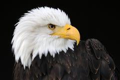 profil łysego orła zdjęcie stock
