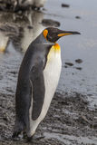 Profil adulte du Roi Penguin Photo stock