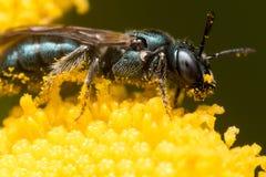 Profil-Ansicht der dunkelgrünen metallischen Schweiss-Biene auf gelber Blume stockfotografie