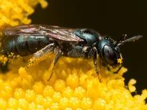 Profil-Ansicht der dunkelgrünen metallischen Schweiss-Biene auf gelber Blume lizenzfreie stockfotografie