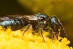 Profil-Ansicht der dunkelgrünen metallischen Schweiss-Biene auf gelber Blume lizenzfreie stockfotos