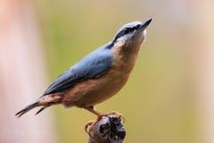 Profil arywisty niebieskie oko czujny fotografia stock