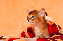 Profil av den abyssinian kattungen Arkivfoton