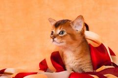 Profil av den abyssinian kattungen Royaltyfri Fotografi