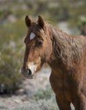 Profil av den Nevada vildhästen i öknen Royaltyfri Foto