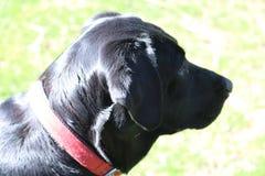 Profil av den svarta labrador Royaltyfri Bild