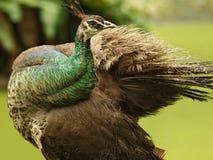 Profil av denbrunt påfågeln med vingar på suddig bakgrund royaltyfria foton