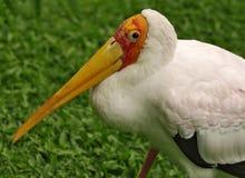 Profil av denfakturerade storken: arkivfoton