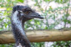 Profil av en emu Fotografering för Bildbyråer