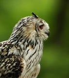 Profil av en Eurasian Eagle Owl Royaltyfri Fotografi