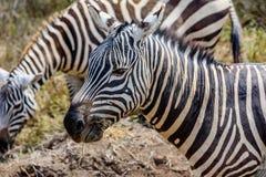 Profil av en härlig Grevy sebra i Kenya, Afrika Royaltyfri Fotografi