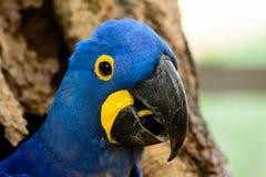Profil av en Hyacinth Macaw Royaltyfria Foton