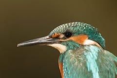 Profil av en kungsfiskarefågel Royaltyfria Bilder