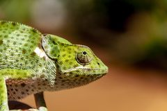 Profil av en lös afrikansk kameleont royaltyfri fotografi