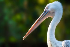 Profil av en pelikan Royaltyfria Foton