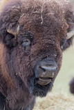 Profil av en stor amerikansk fältbuffel arkivbild