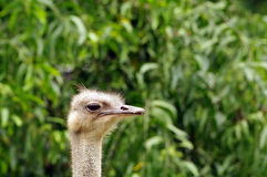 Profil av en strutsnärbild som är djupgående av fält Djurliv av fåglar royaltyfri fotografi