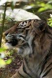 Profil av en sumatrantiger som kopplar av i skog royaltyfria foton