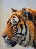 Profil av en tiger Royaltyfri Foto