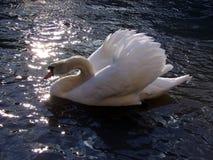 Profil av en vit Cygnusolor för stum svan i hennes livsmiljö arkivfoton