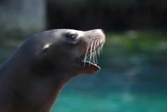 Profil av ett hav Lion With His Mouth Open Royaltyfri Bild
