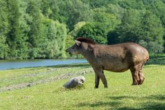 Profil av ett tapiranseende på en äng royaltyfri bild