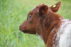 Profil av fyra månad den gamla kalven Fotografering för Bildbyråer