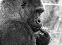 Profil av gorillan för västra lågland, silverback för vuxen man Fotograferat på port Lympne Safari Park nära Ashford Kent UK arkivfoton