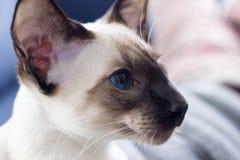 Profil av härlig skyddsremsa-punkt för blåa ögon den orientaliska katten Arkivbild